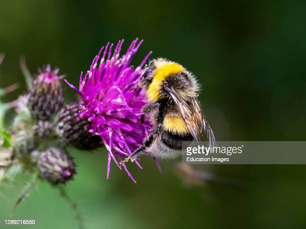 Male Bombus lucorum, White-tailed bumblebee on a thistle, Cornwall, UK.