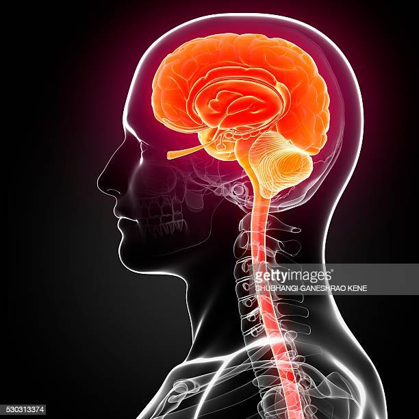 male brain, computer artwork. - brain stem stock photos and pictures
