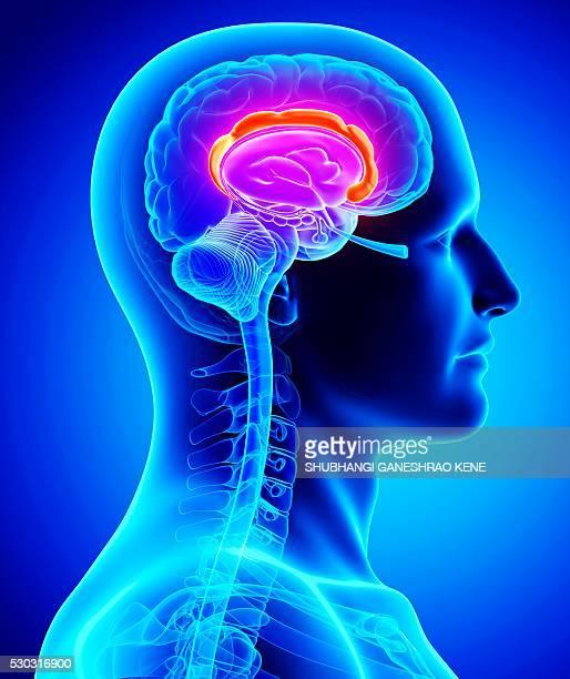 Male brain, computer artwork.