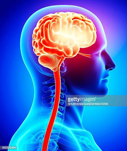male brain, computer artwork. - fornix stock pictures, royalty-free photos & images
