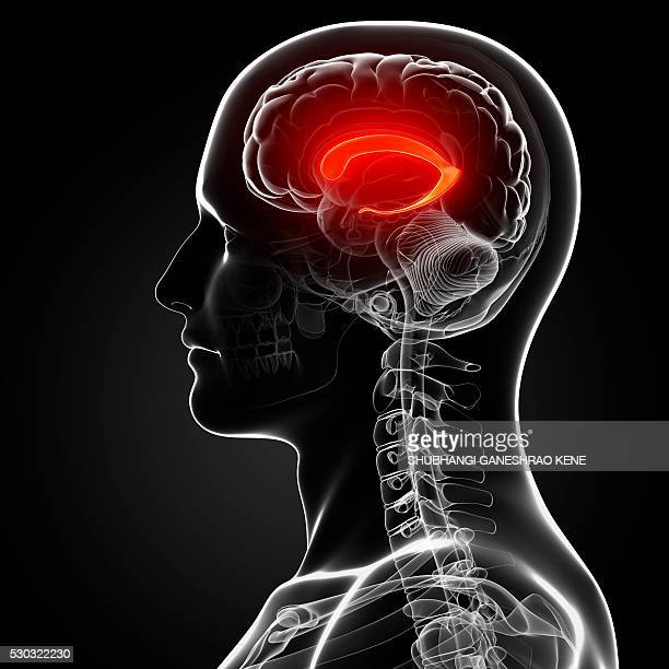 male brain, computer artwork. - diencephalon stock photos and pictures