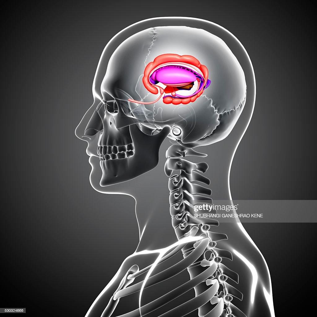 Male brain, computer artwork. : Stock Photo