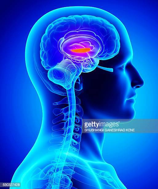 male brain, computer artwork. - fornix stock photos and pictures