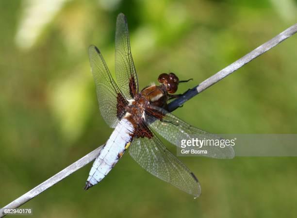 Male Broad Bodied Chaser (Libellula depressa)