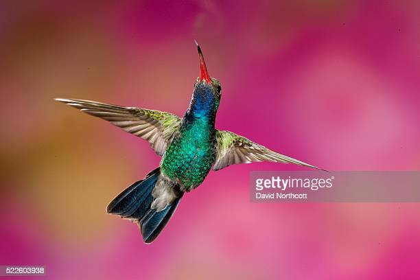 male broad-billed hummingbird - hummingbird stock pictures, royalty-free photos & images