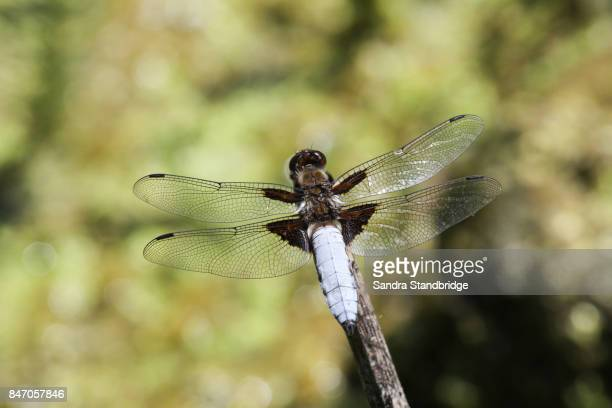 A male Broad-bodied Chaser (Libellula depressa) perched on a twig.