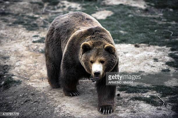 Male brown bear Ari plays in a bear sanctuary near the village of Mramor on March 1, 2014 .Thirteen brown bears live in a bear sanctuary after being...