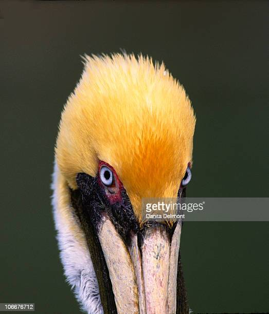 Male Brown Pelican in breeding plumage, Sanibel Island, Florida, USA