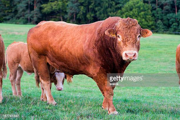 male bull on grass - bull animal stock pictures, royalty-free photos & images