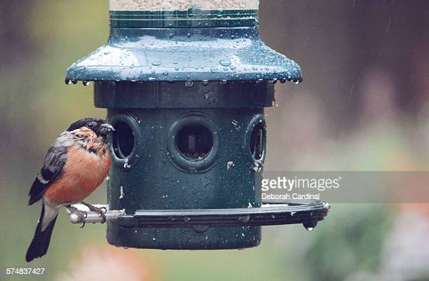 Male Bullfinch on a Rainy Day