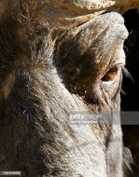 a male cape buffalo photographed in a western cape private game reserve on a mid-winter's day. late afternoon light, shooting at 300mm and stopping down 3 stops to give a little detail to the background. western cape province, south africa. - zoonotic diseases ストックフォトと画像