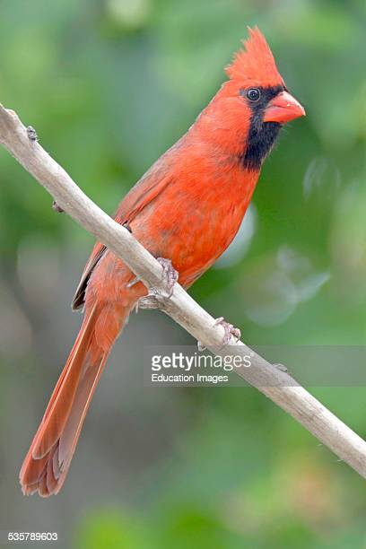 Male Cardinal Animal Portrait