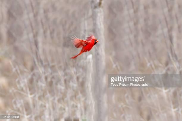 male cardinal in flight - cardinal bird stock photos and pictures