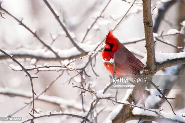 male cardinal in snow - cardinal bird stock photos and pictures