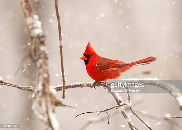 male cardinal on a branch - cardinal bird stock photos and pictures