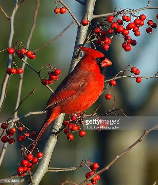male cardinal on branch - cardinal bird stock photos and pictures