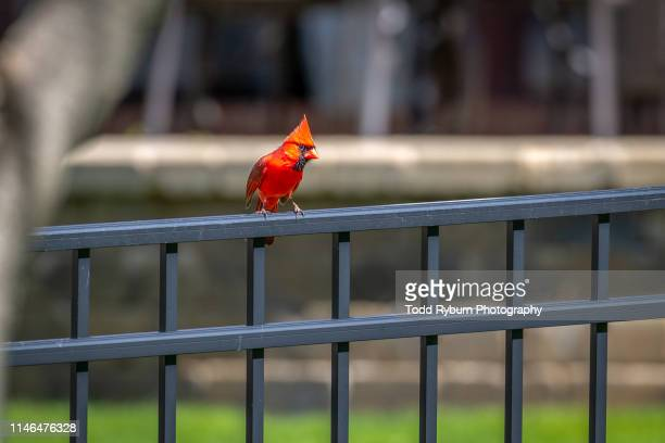 male cardinal perched on a fence - cardinal bird stock photos and pictures