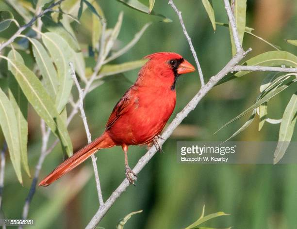 male cardinal - animal macho fotografías e imágenes de stock