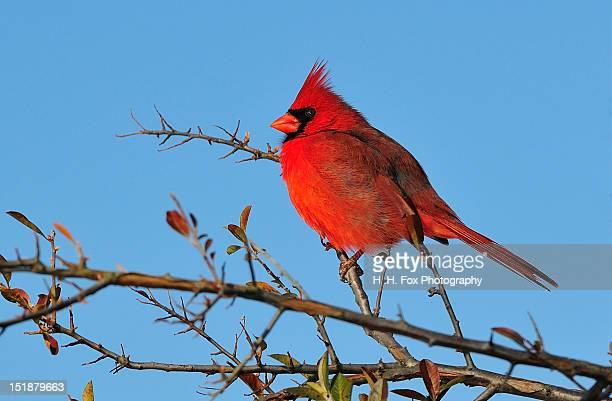 male cardinal - blue cardinal bird stock pictures, royalty-free photos & images