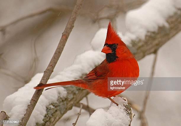 male cardinal - cardinal bird stock photos and pictures