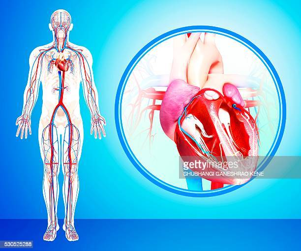 male cardiovascular system, computer artwork. - blood flow stock pictures, royalty-free photos & images