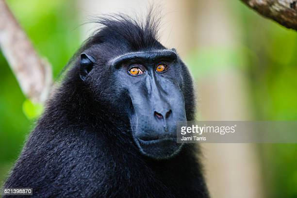 Male Celebes crested macaque with amber-colored eyes