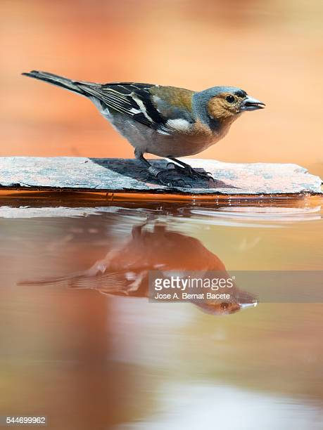 Male Chaffinch  bird species , (Fringilla coelebs ),  of the family  Passeriformes , put on a rock with his reflection in the water