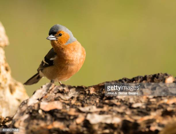 Male Chaffinch bird species , (Fringilla coelebs ), on a trunck . Spain, Europe.