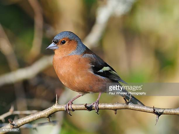 Male Chaffinch in Breeding Plumage