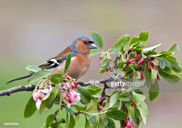 Male Chaffinch (Fringilla coelebs) on twig with apple blossom