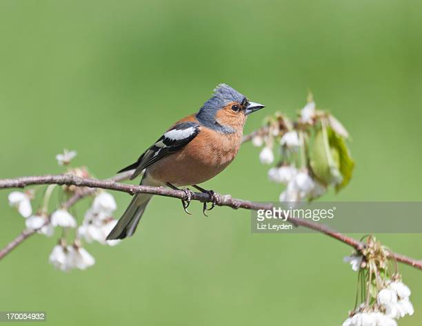 Male Chaffinch (Fringilla coelebs) on twig with plum blossom