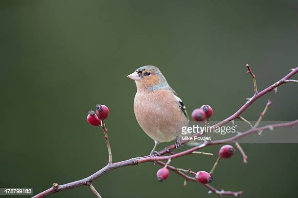 Male Chaffinch perched amongst rose hips, Norfolk
