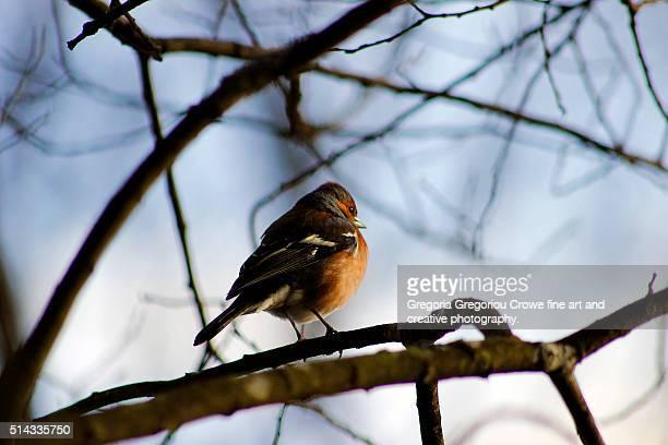 male chaffinch - gregoria gregoriou crowe fine art and creative photography - fotografias e filmes do acervo