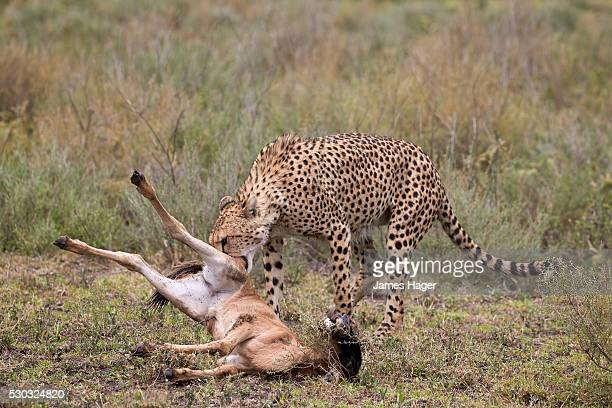 Male Cheetah (Acinonyx jubatus) killing a newborn Blue Wildebeest or Brindled Gnu (Connochaetes taurinus) calf, Ngorongoro Conservation Area, Serengeti, Tanzania