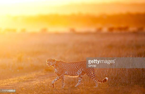 Male Cheetah on the prowl