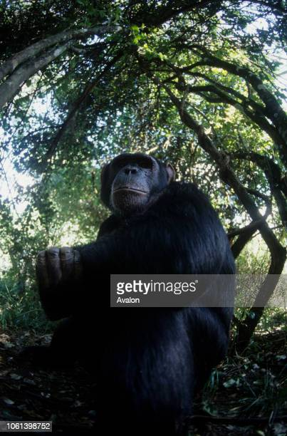 Male Chimpanzee alert in forest setting sanctuary Kenya Date 250608