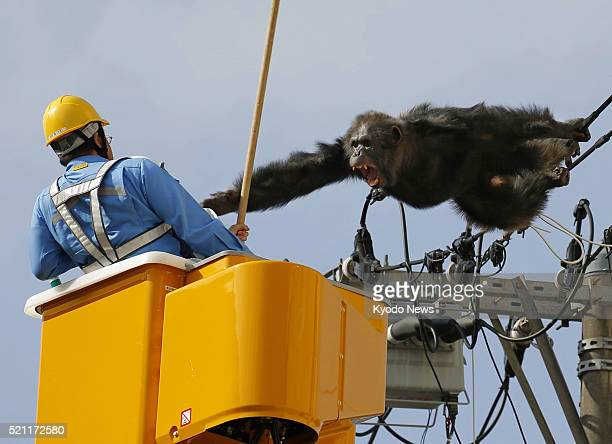 Male chimpanzee Chacha screams at a man trying to capture him on power lines in a residential area of the northeastern Japan city of Sendai on April...