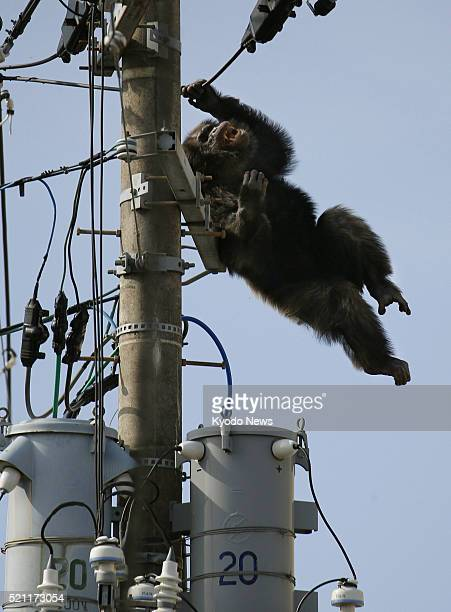 Male chimpanzee Chacha who escaped from Yagiyama Zoological Park falls from power lines in a residential area of the northeastern Japan city of...