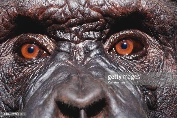 Male chimpanzee (Pan troglodytes), close-up of eyes