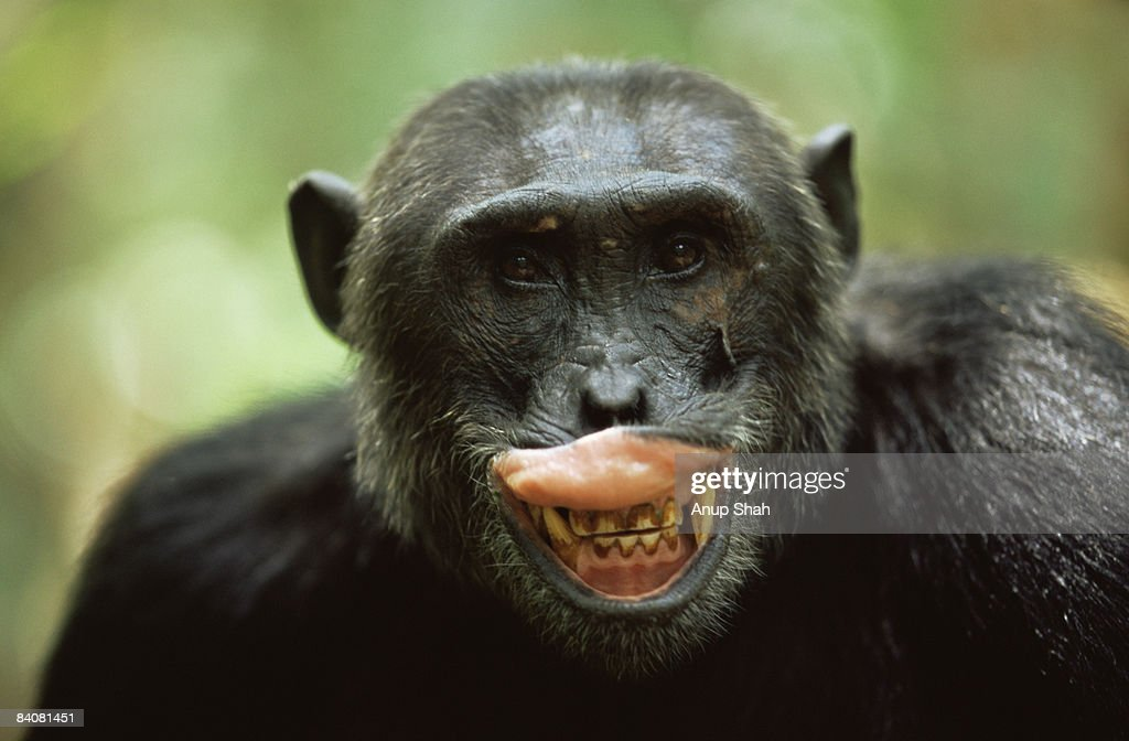 Male Chimpanzee exposing teeth : Stock Photo