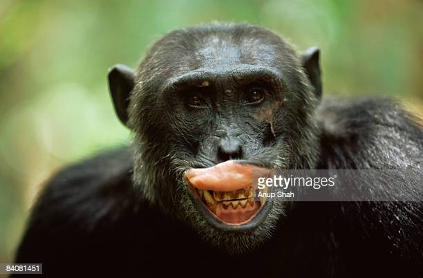 male chimpanzee exposing teeth - chimpanzee teeth stock pictures, royalty-free photos & images