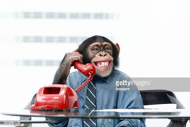 male chimpanzee in business clothes - primate stock pictures, royalty-free photos & images