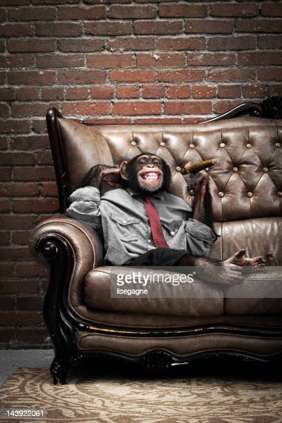 Male Chimpanzee on a couch