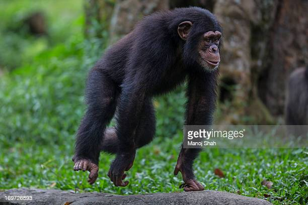 male chimpanzee youngster - chimpanzee stock pictures, royalty-free photos & images