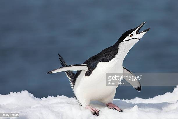Male chinstrap penguin threatens a Rival