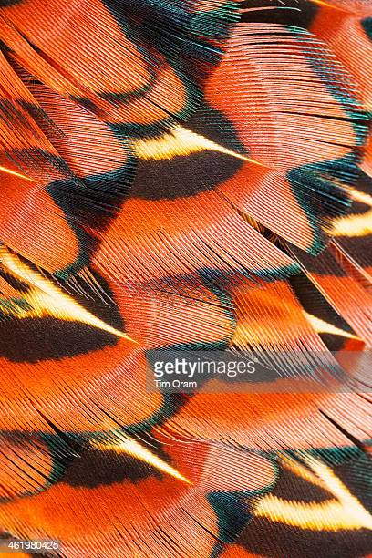 Male cock pheasant feathers