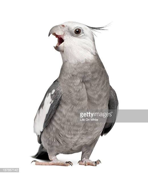 male cockatiel - nymphicus hollandicus - cockatiel stock pictures, royalty-free photos & images