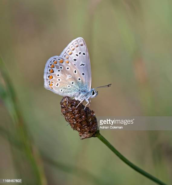 male common blue butterfly (polyomatus icarus) - blue stock pictures, royalty-free photos & images