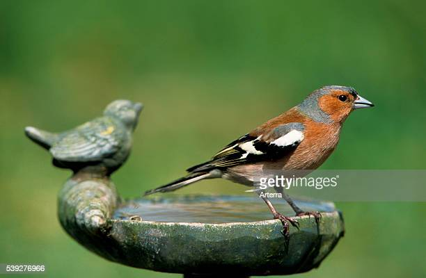 Male Common chaffinch at birdbath in garden