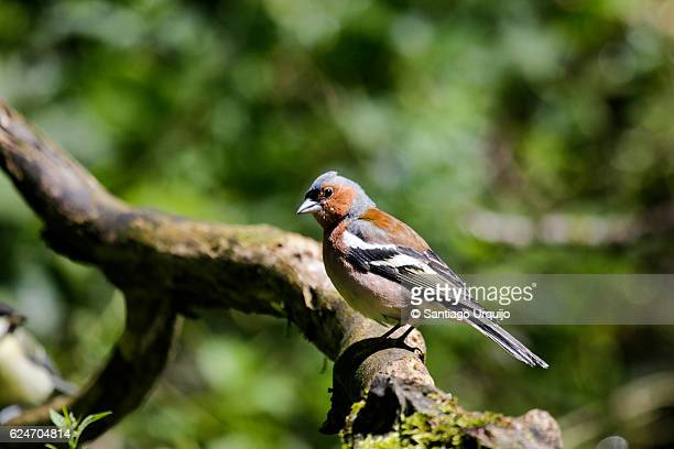 Male common chaffinch perched on a branch